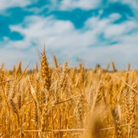 Wheat's History: How It Became the Most Successful Species