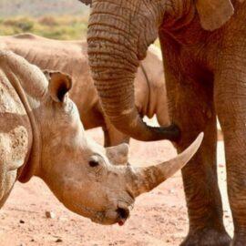 Megafauna Extinction: Big Animals in Trouble