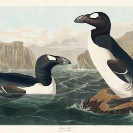 The Great Auk: Gone for Good, Never to Return