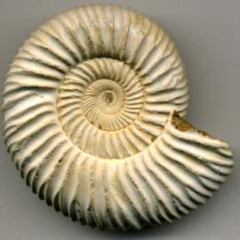What Caused the Ammonites' Extinction?