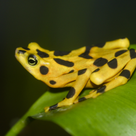 What Happened to the Panamanian Golden Frog?
