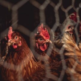 The Meat Industry: Animal Cruelty Is Everywhere