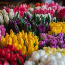 The Tulip Craze: History's First Economic Bubble